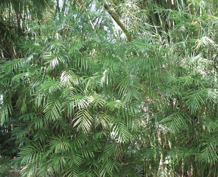 An informal clump of leafy green bamboo palm.