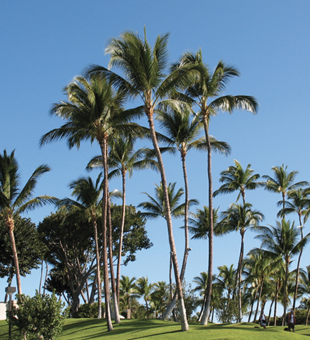 Many tall palm trees growing on a green, grassy area.