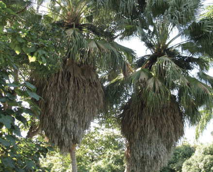 Palm tree with old, brown leaves folded down toward the trunk and new, green leaves fanning out from the top of the trunk.