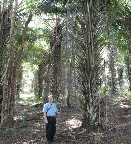 A man stands in an opening surrounded by oil palms, which are tall, unbranched, single-trunk trees with fronds protruding from bottom to top.