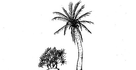 A multiple-trunk palm is small and shrub-like, while a single-trunk palm has a single, limbless, tall trunk with large, pinnate leaves radiating from the top.