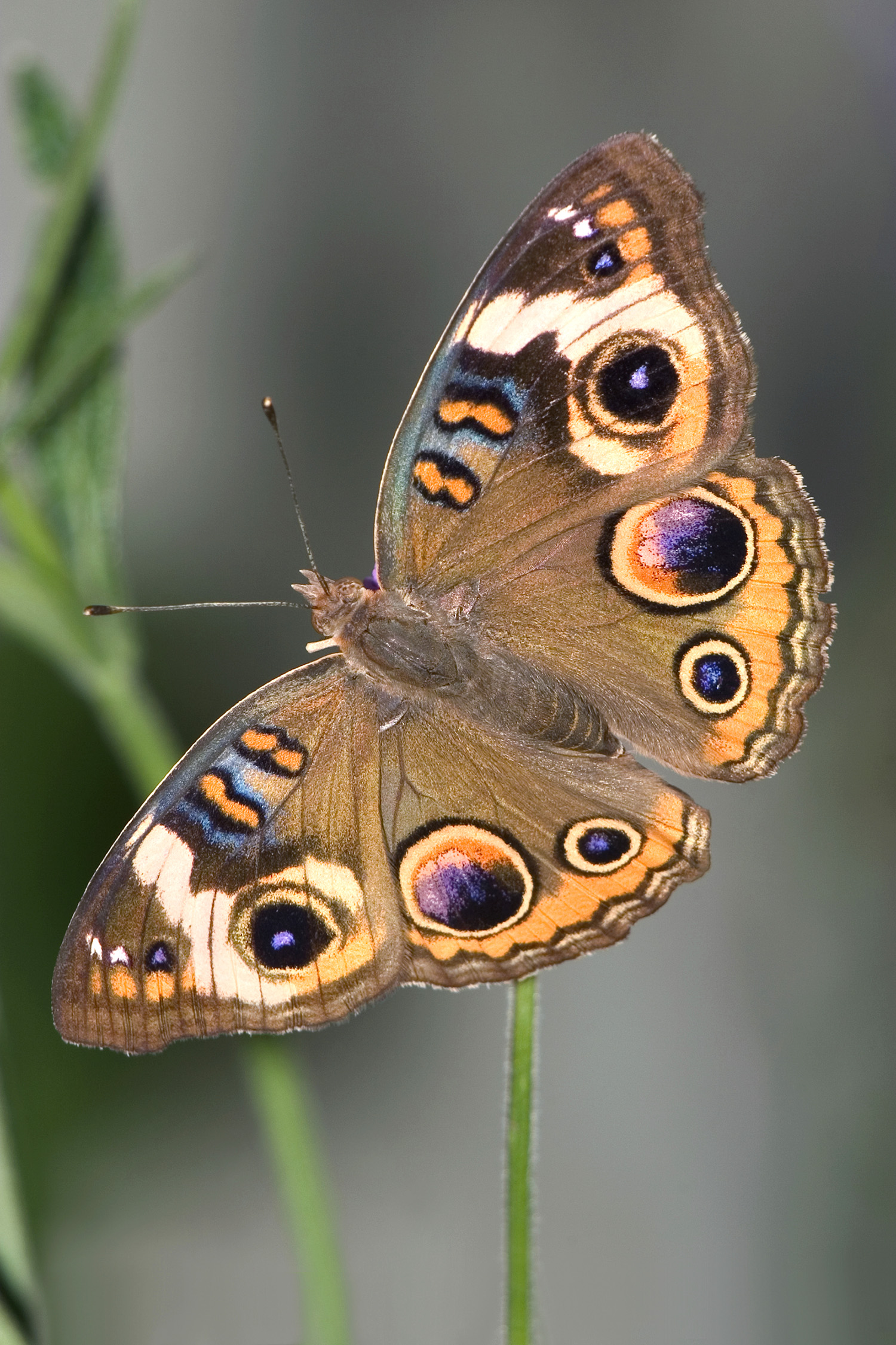 This common buckeye butterfly is brown with dark purple circles on outside edges of wings.