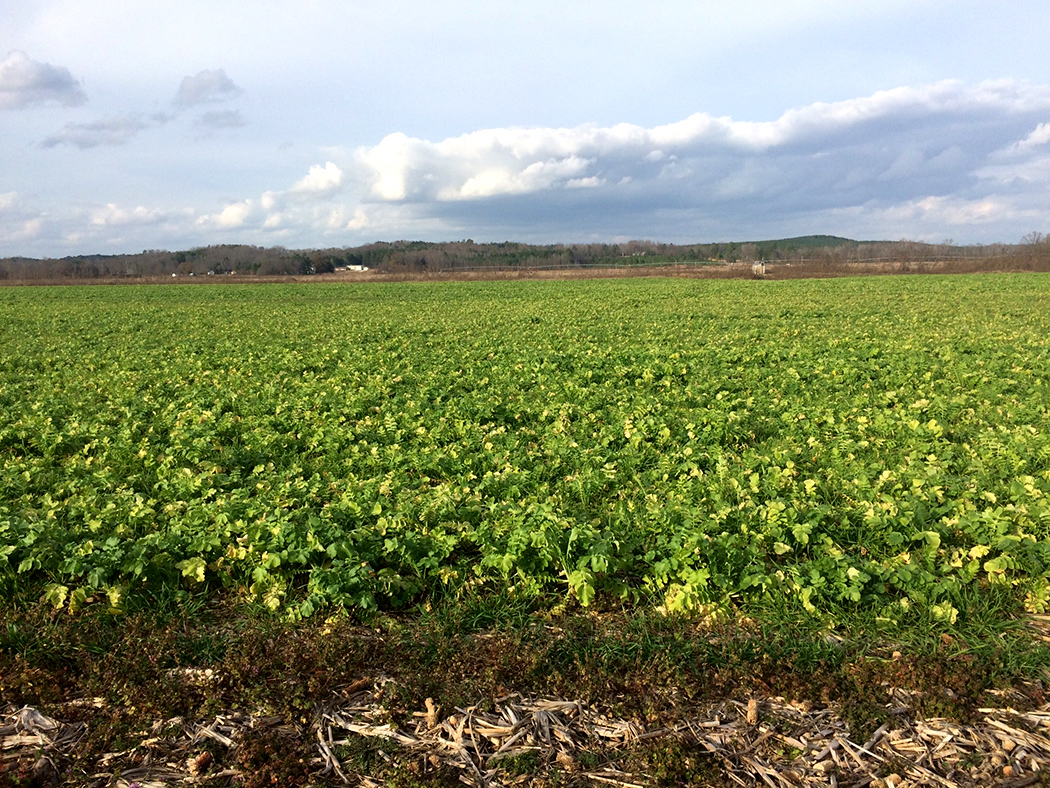 Daikon radishes planted as a cover crop on a collaborative REACH farm.
