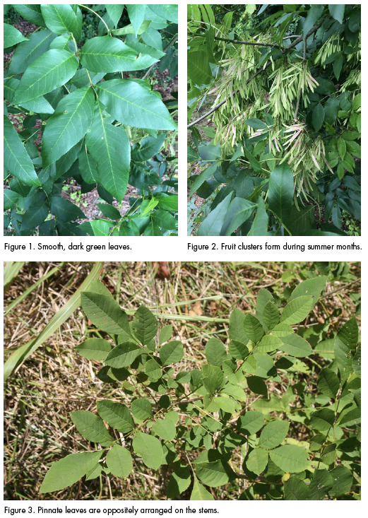 Fig 1 is smooth, dark green leaves. fig 2. shows fruit clusters that form during summer months. Figure 3. is Pinnate leaves are oppositely arranged on the stems.