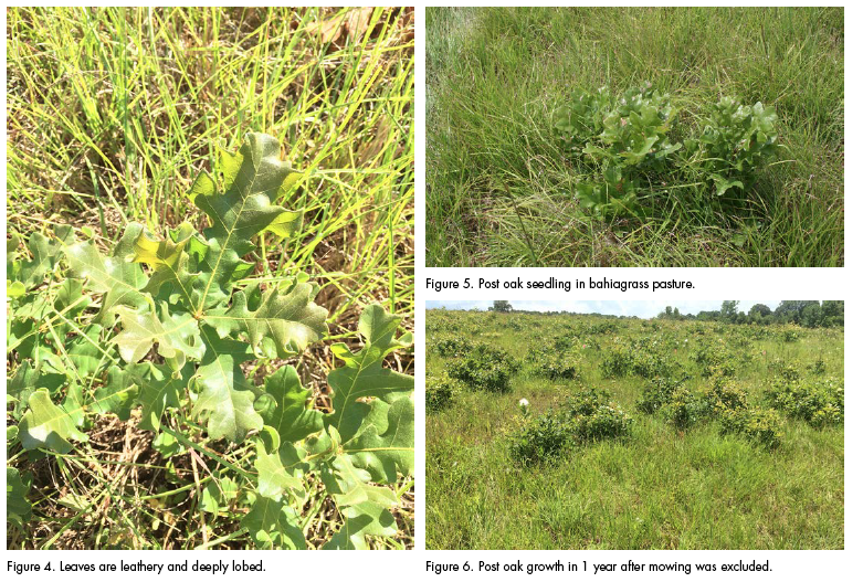 Figure 4. Leaves are leathery and deeply lobed. Figure 5. Post oak seedling in bahiagrass pasture. Figure 6. Post oak growth in 1 year after mowing was excluded.