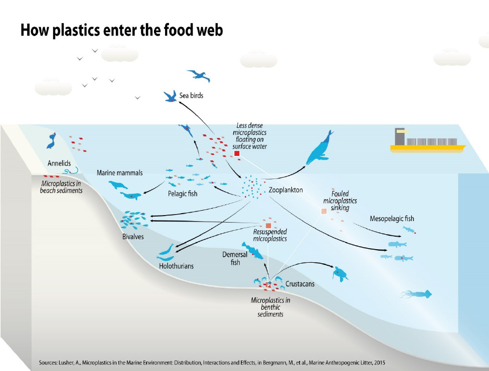 Figure 4. How microplastics enter and are dispersed through the food web.