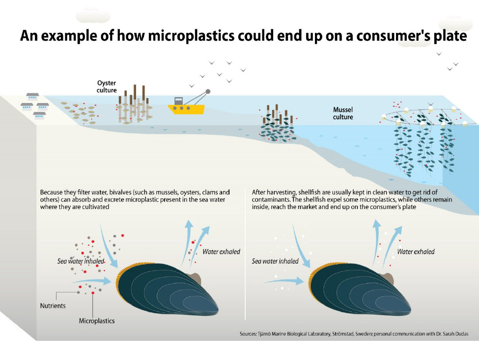 Figure 6. How filter feeding organisms (e.g., oysters, mussels, and clams) inhale and accumulate microplastics.