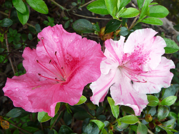 Conversation Piece azalea. Image courtesy LSU AgCenter.