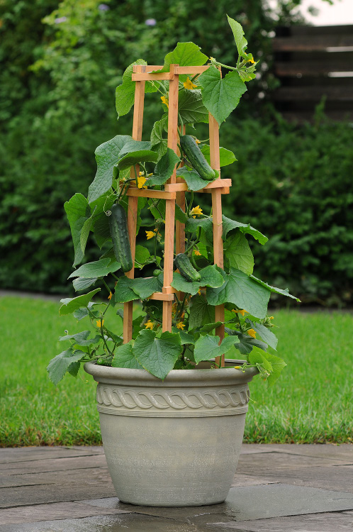 Patio Snacker. Image courtesy Ball Horticultural Company.