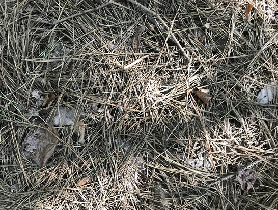 Light brown and gray pine straw on the forest floor. The individual strands are thicker than longleaf pine straw, and the ground is completely covered.