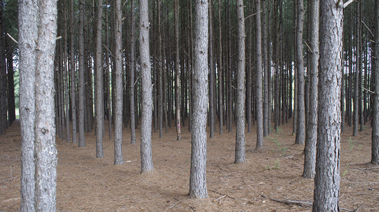 The lower trunks of many pine trees with minimal branches. The ground is covered in brown pine straw.