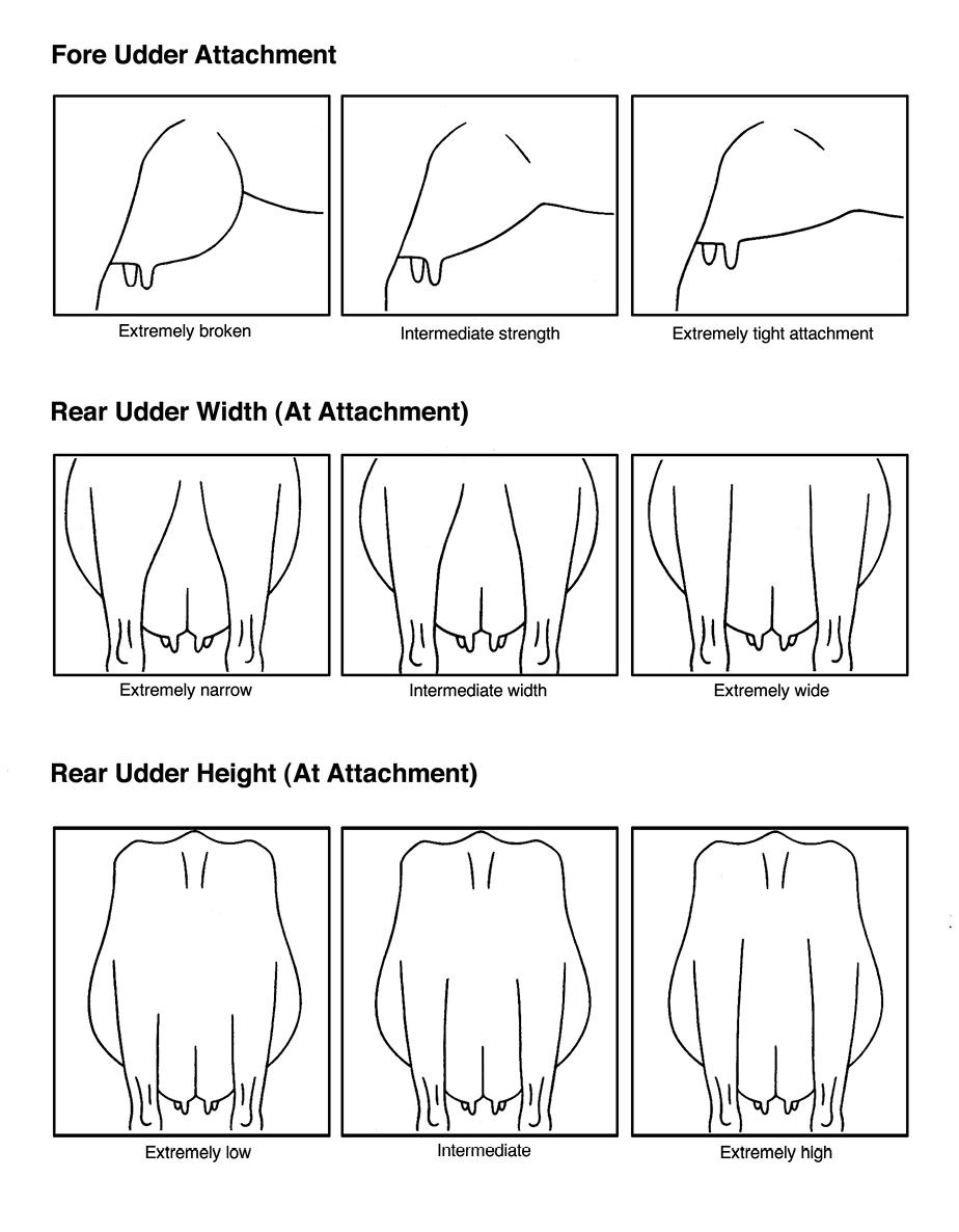 fore udder attachment, rear udder width (at attachment), and rear udder height (at attachment)