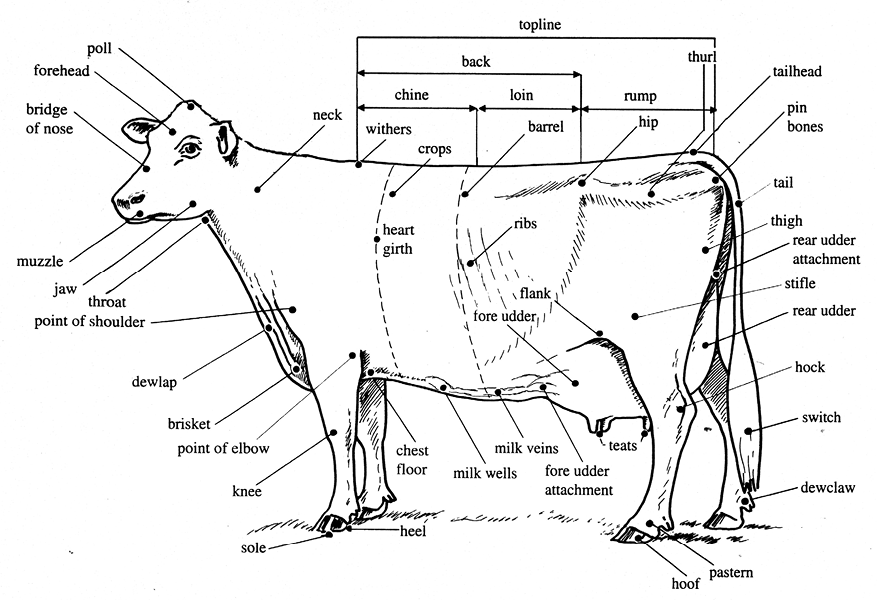 The names and parts of a dairy cow are displayed in this diagram.