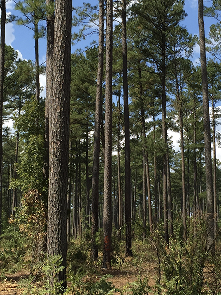 Tall pine trees with some foliage surrounding them on the ground. The tree in the middle is marked with one orange paint stripe.