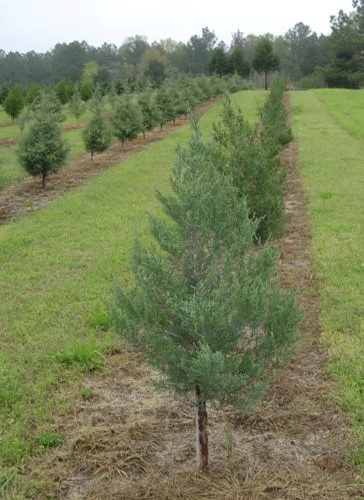 Short Christmas trees in clearly defined rows. These rows are separated by green grass.