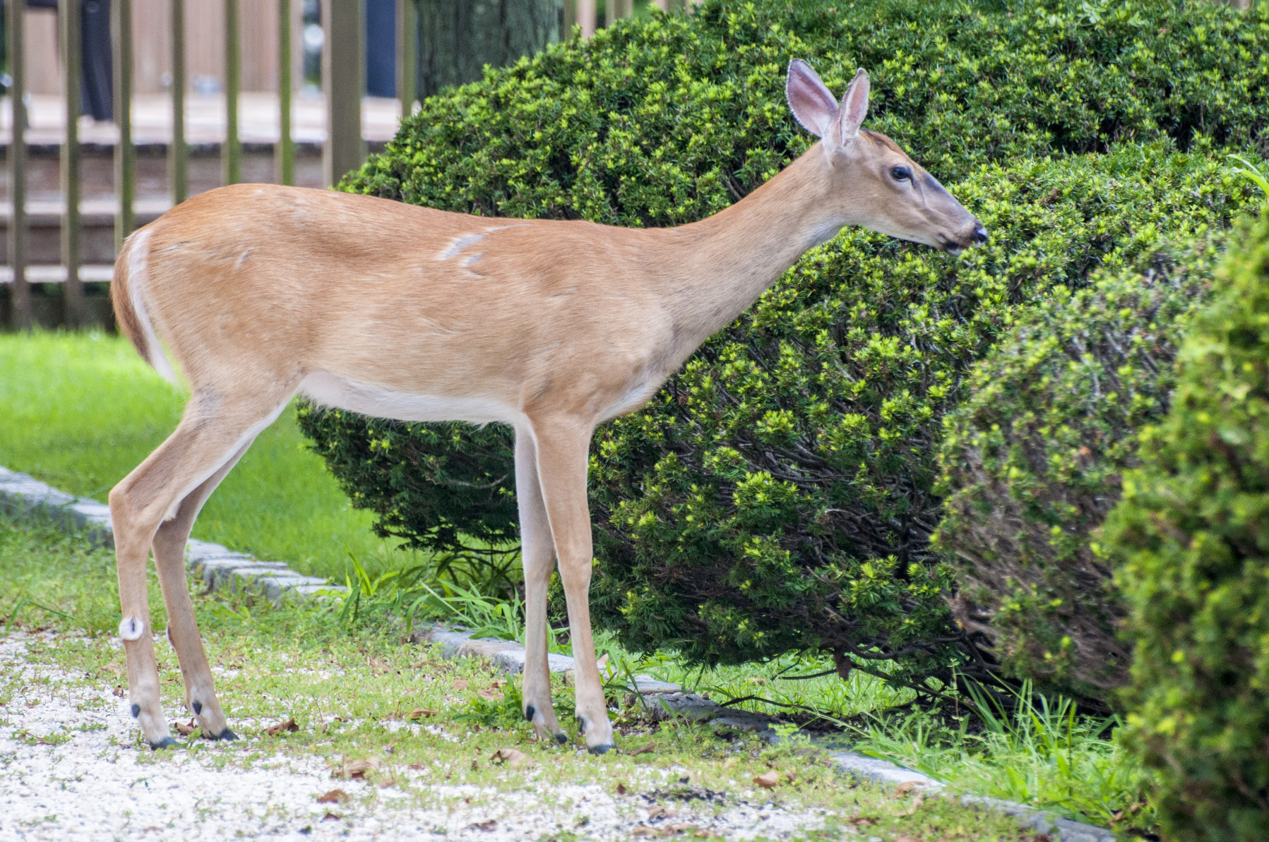 a brown deer with white tail eats shrub in landscape.