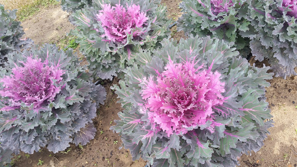Beautiful pinkish/purple  kale 'Coral Queen' in flower bed.