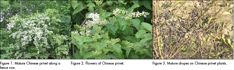 Mature Chinese privet, flowers of Chinese privet, and mature drupes on Chinese privet plants.