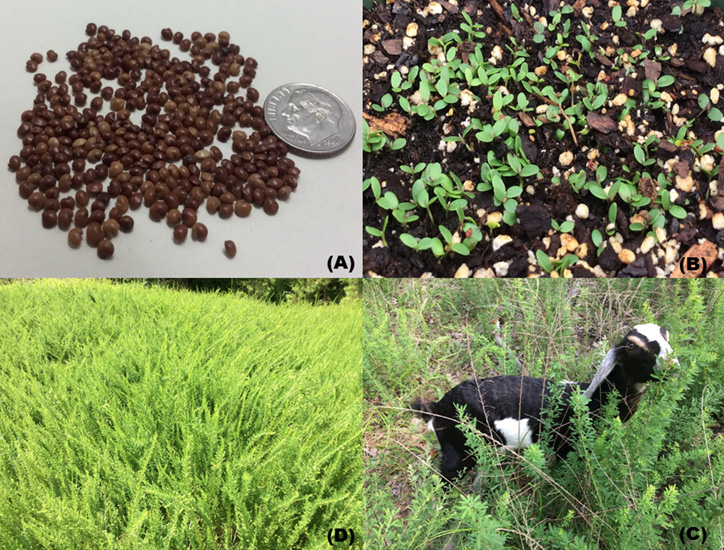 Composite of four images. The first compares the size of the seeds to a quarter. Approximately 20-25 seeds are the size of a quarter. The second picture shows green seedlings barely emerging from the dark brown earth. The third picture shows a field of the taller, full-grown lespedeza waving in the wind. The fourth picture is of a black and white goat in a field of lespedeza.