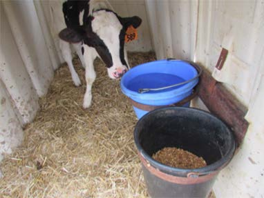 A black and white dairy calf in a clean pen.