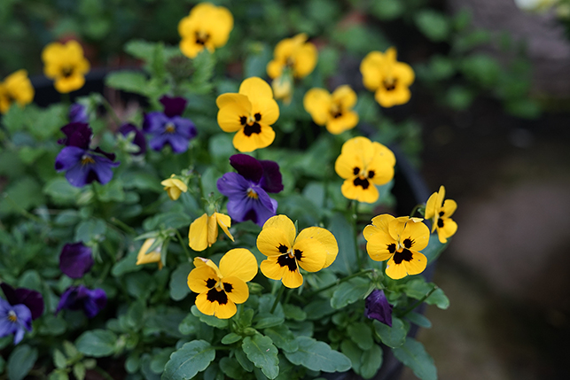 yellow and purple blooms on cool-season bedding plants.