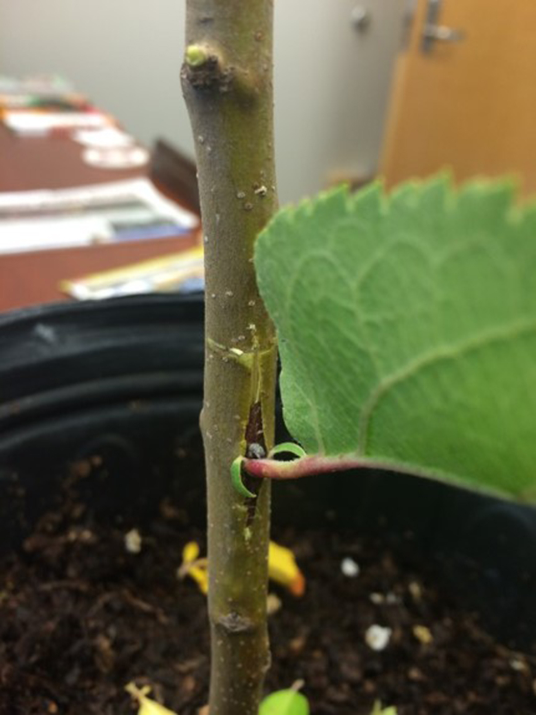 The potted plant's trunk with a stem inserted into the T cut. The new stem has a leaf.