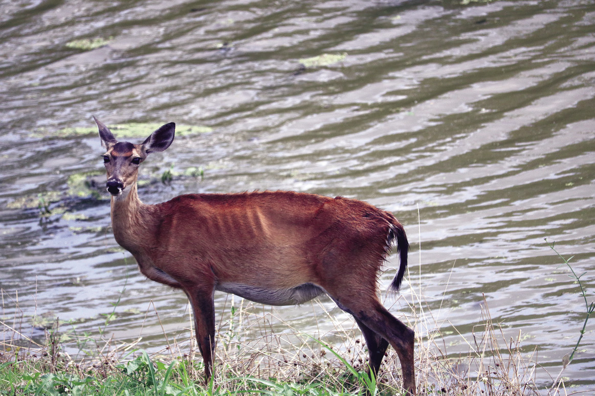 A deer stands on a strip of land in front of a flooded area. The deer's ribs are protruding because it is starving.