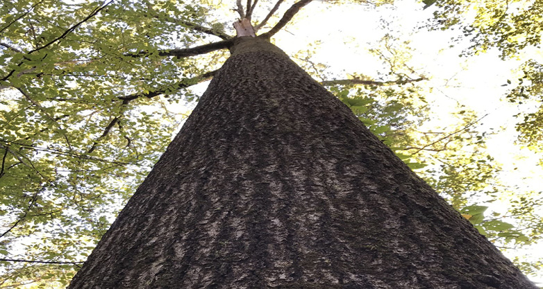 Photo of a large tree from the ground pointed up to the sky,
