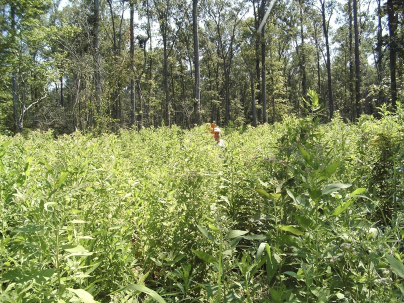A person stands in a bottomland site with green plants growing to head height.