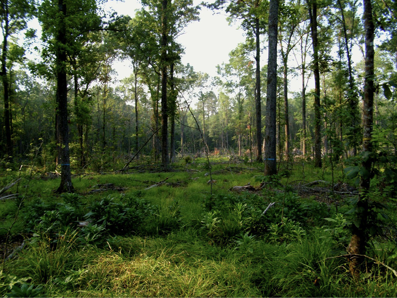 A bottomland site with short vegetation on the mostly shaded ground. Large trees are spread out through the site.