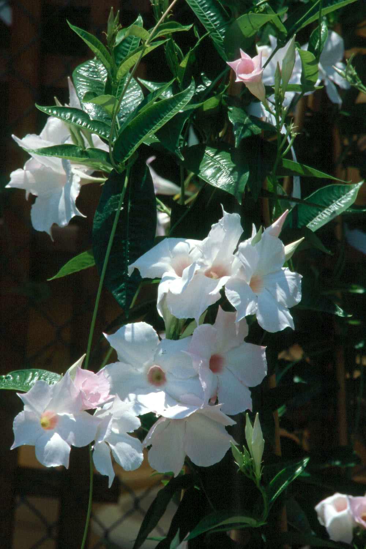 Tropical Flowering Vines Provide Color Until Frost
