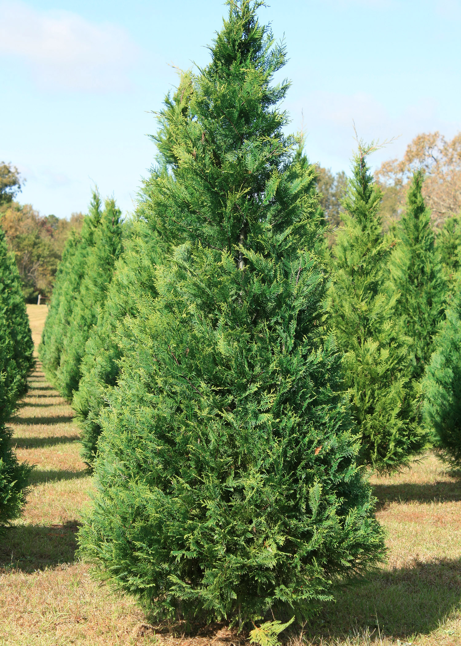 Decorate for Christmas with Mississippi trees ...