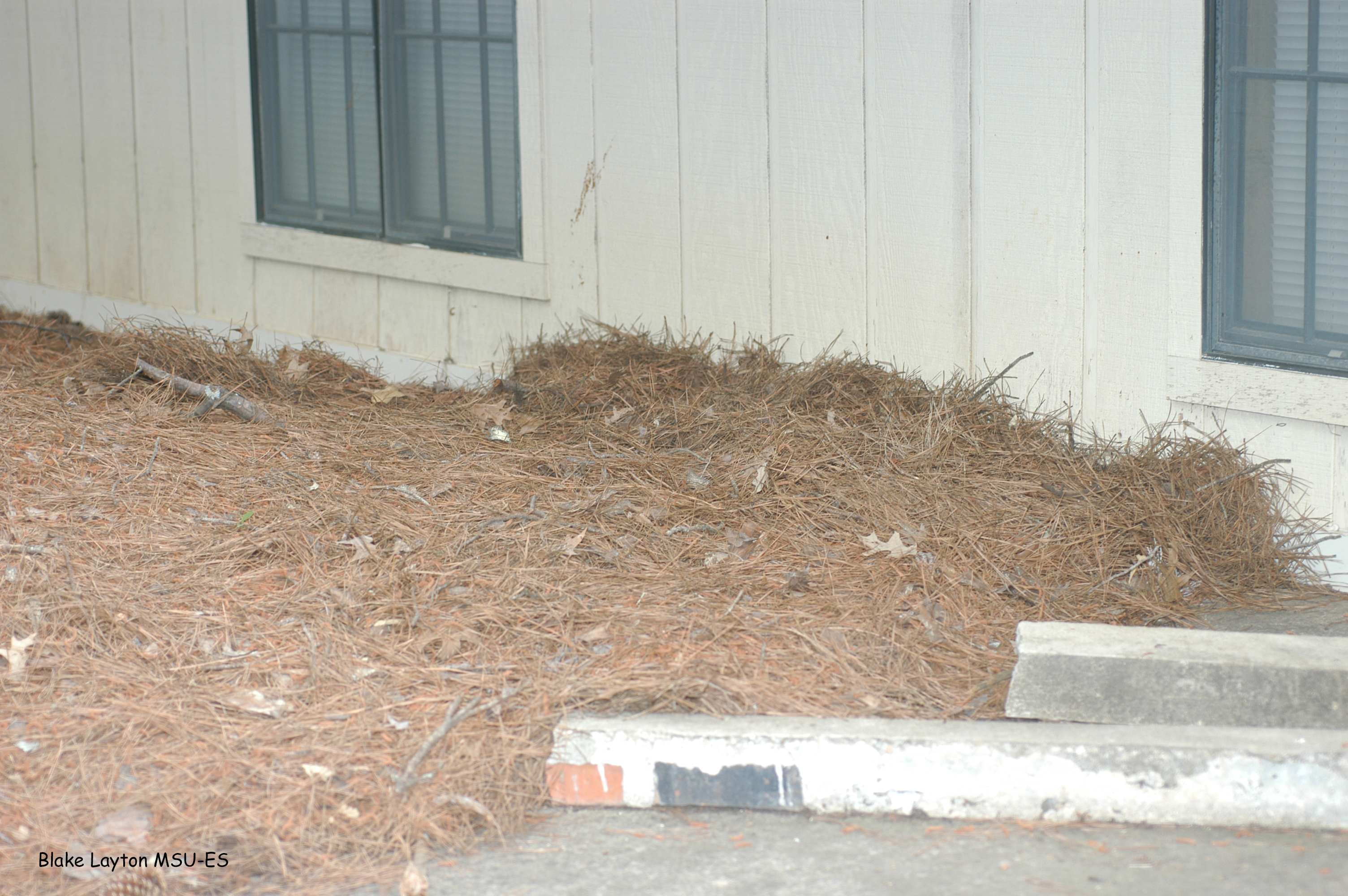 Organic mulch, such as this pine straw, piled against exterior walls greatly increases risks of termite attack, especially if the material is so thick that it reaches the lower level of siding.  Degrading mulch allows termites to tunnel directly into the building, bypassing any soil-applied insecticide treatments.