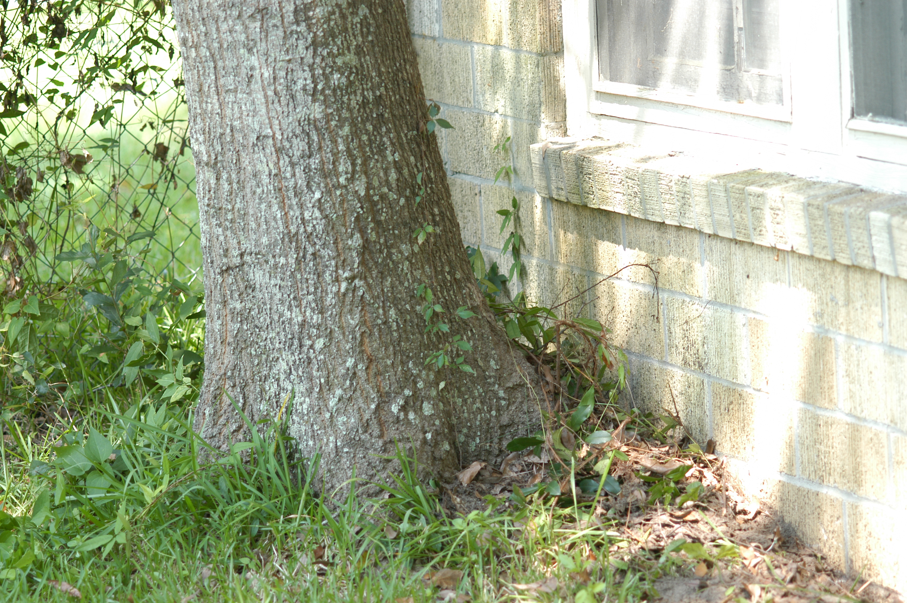 Decaying tree roots lead termites into building