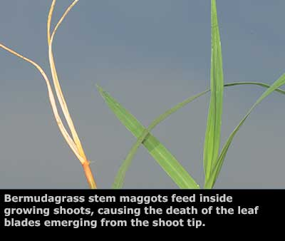 New research helps hay producers manage Bermuda grass stem