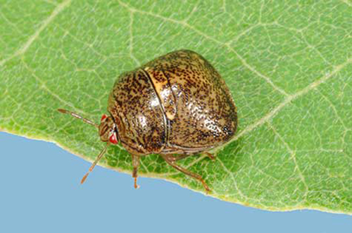 Question: Is this one of those new, non-native insect pests I have been hearing about? Answer: Yes, this is a kudzu bug.  They were first detected in Mississippi in 2012.  Where did you find this one?