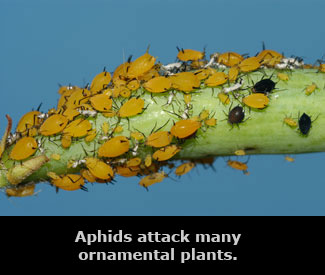 aphids attacking a green plant stem.