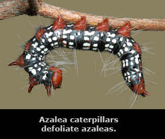 A black, white, and red azalea caterpillar.