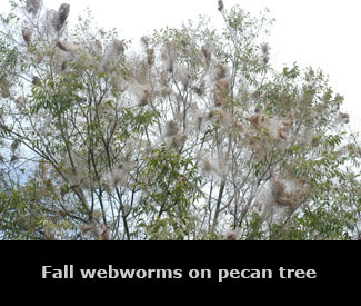 Fall webworms on pecan trees.