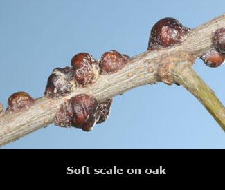 Soft scale on an oak stem.