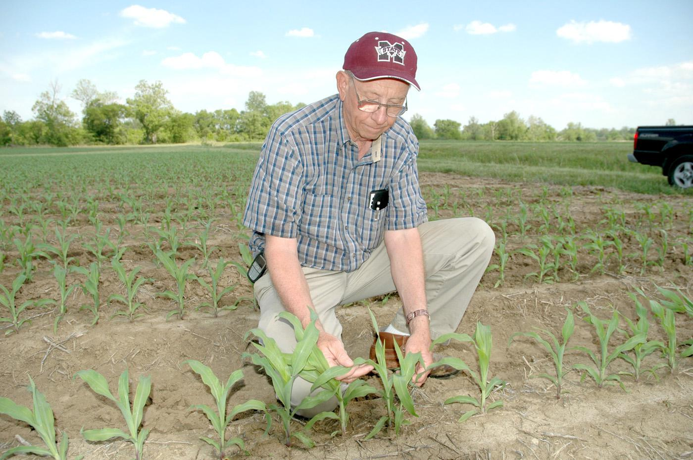 Normie Buehring, senior research agronomist at the Northeast Mississippi Branch Experiment Station, checks corn in a research plot at the Verona station. Buehring says the 2006 crop is growing fast and running ahead of normal.
