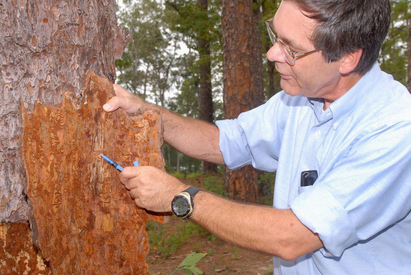 Glenn Hughes, a forestry specialist with Mississippi State University's Extension Service, points to the damage from pine bark beetles that are destroying this tree at Elks Lake in Forrest County. (Photo by Marco Nicovich)