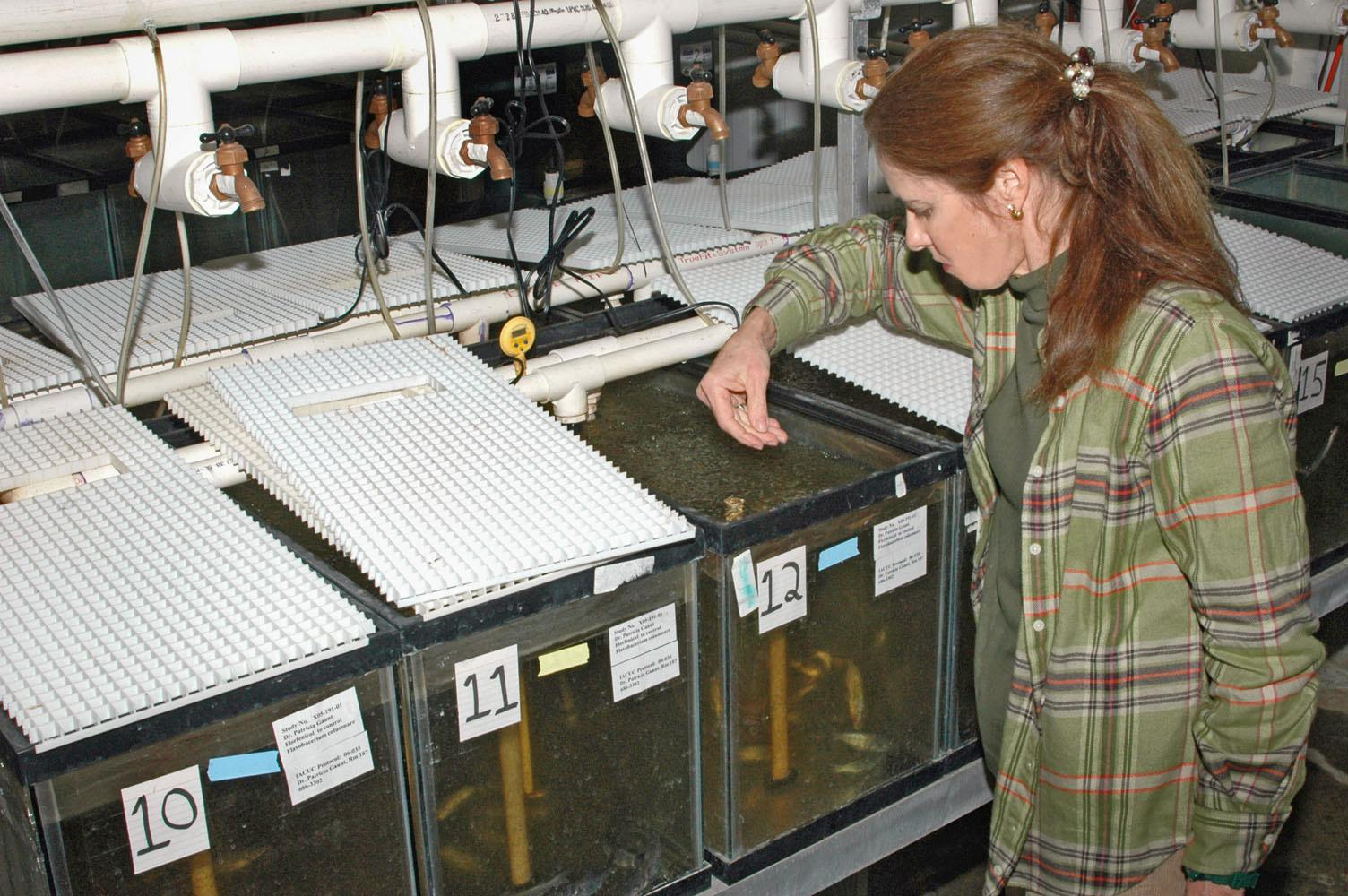 Pat Gaunt, interim head of the Mississippi State University College of Veterinarian Medicine aquatic diagnostic lab in Stoneville, gives medicated feed to fish sick with columnaris disease. (MSU Delta Research and Extension Center photo/Robert H. Wells)