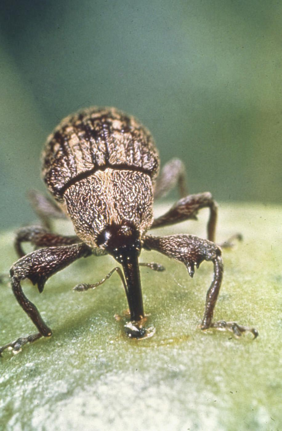 Boll weevils used to number in the thousands per acre in Mississippi, but boll weevil eradication reduced that number to just three found in the state in 2008. This boll weevil has punctured a cotton boll and is feeding.