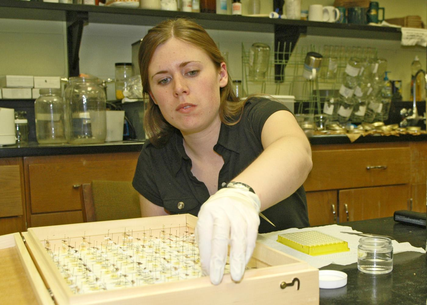 Canadian wildlife biologist Jayme Sones reaches for a specimen in the insect collection at Mississippi State University's entomological museum. Sones is part of a worldwide research effort to catalog DNA of all living species for easier identification. (Photo by Patti Drapala)