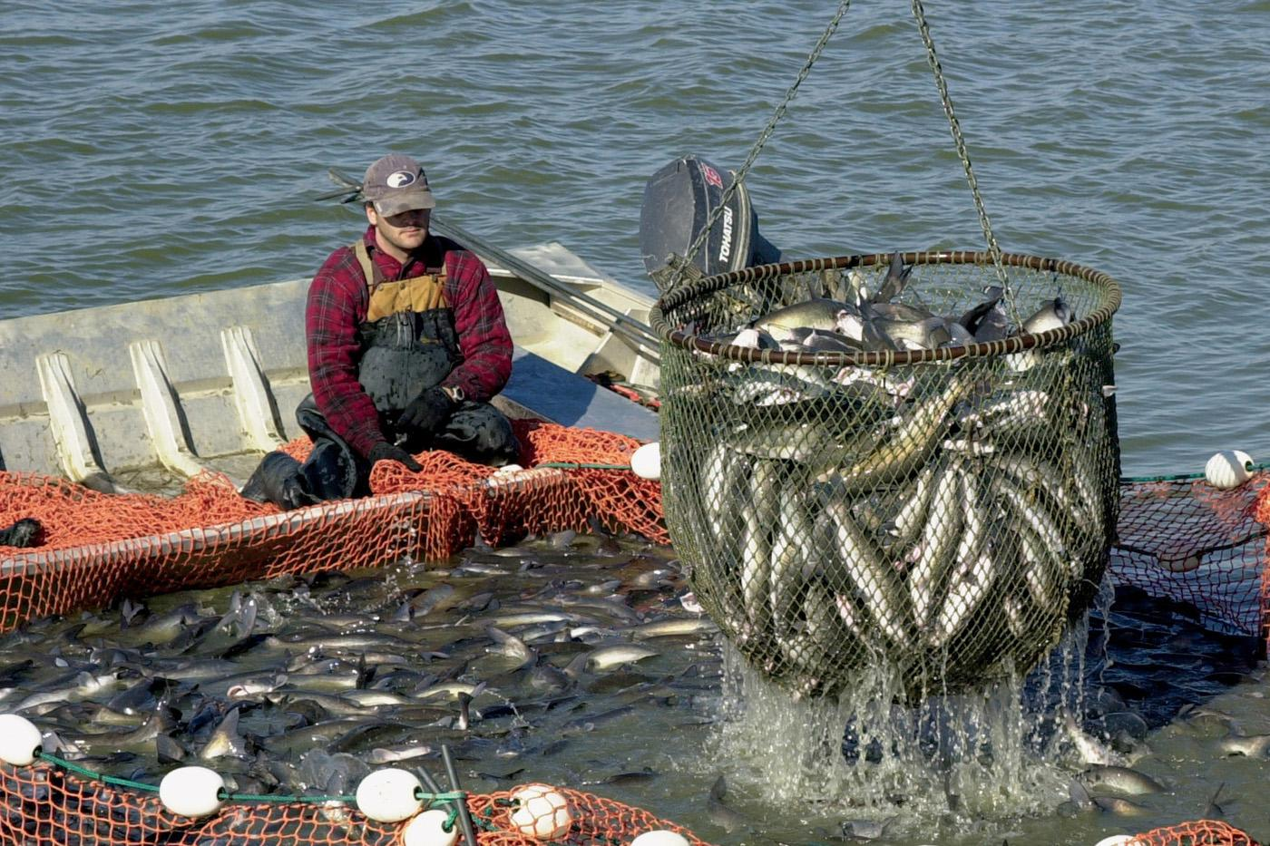 U.S. farm-raised catfish are being netted out for harvest from this Mississippi pond. The state's catfish industry is facing obstacles from very high feed prices, declining acreage and imported fish. (Photo by Marco Nicovich)