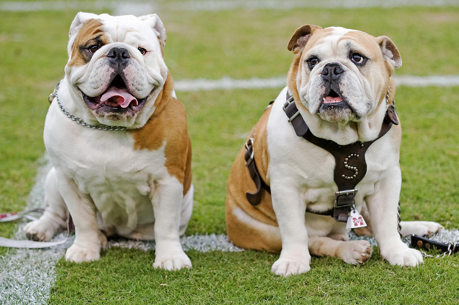 Champ, left, Mississippi State University's new Bully XX, sits on the Scott Field athletic turf with Bully XIX, his father, Tonka. (Photo by MSU University Relations/Kristen Hines Baker)