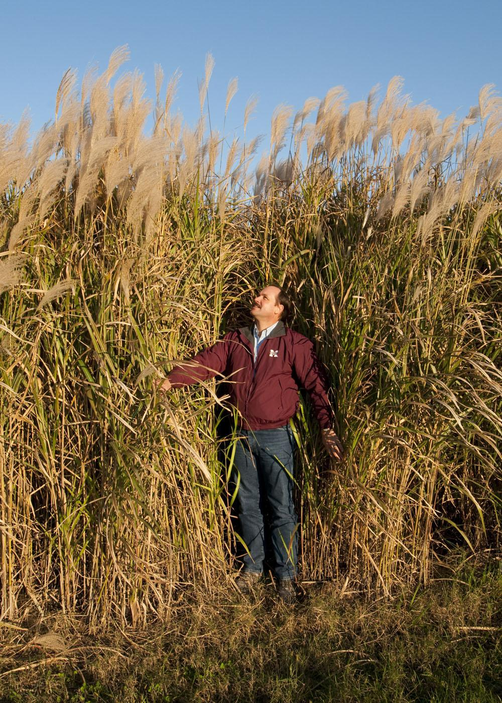 """A field of """"Freedom"""" giant miscanthus on Mississippi State Univ"""