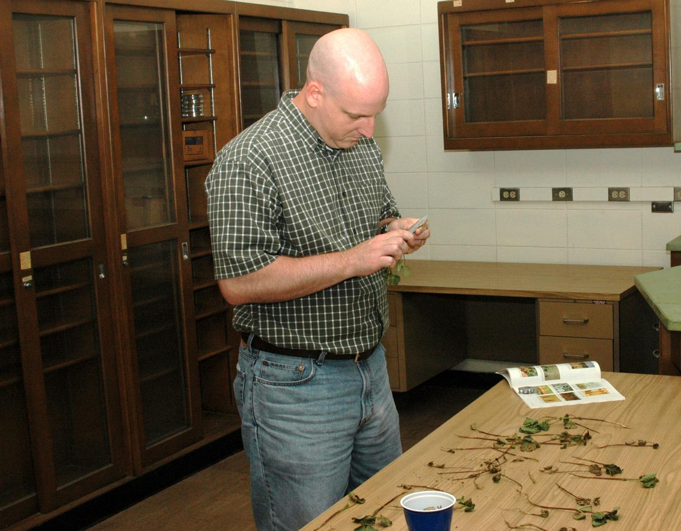 Mississippi State University plant pathologist Tom Allen checks cotton seedlings for black root rot disease, a fungus that causes plants to rot from the roots. (MSU Delta Research and Extension file photo)