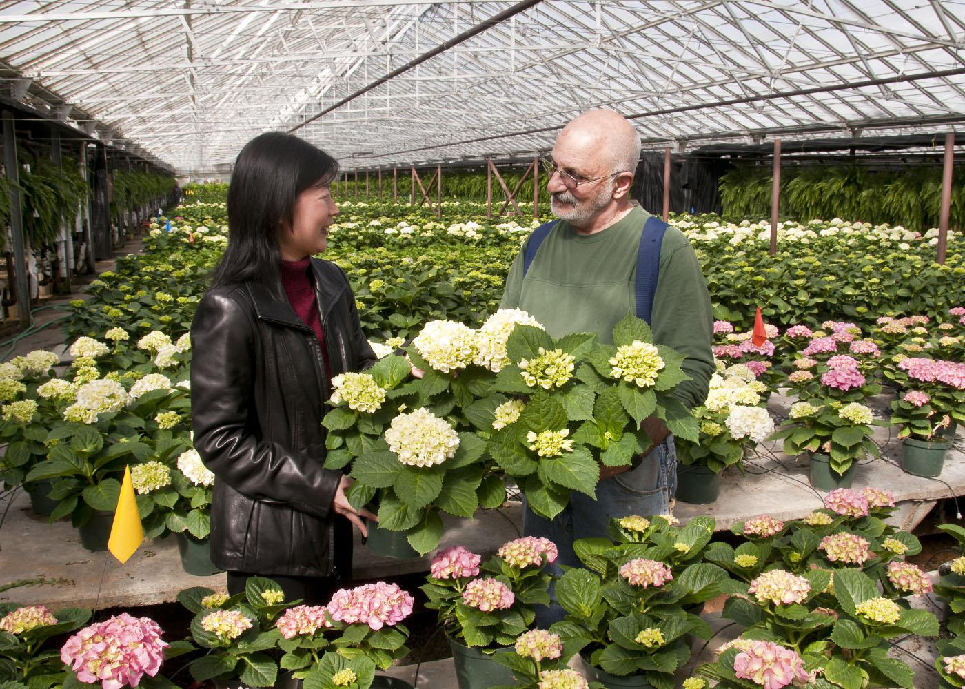 Mississippi State University research horticulturist Guihong Bi  and Natchez Trace Greenhouses manager Mark Terkanian of Kosciusko discuss hydrangea production techniques that may help commercial growers. (Photo by Scott Corey)